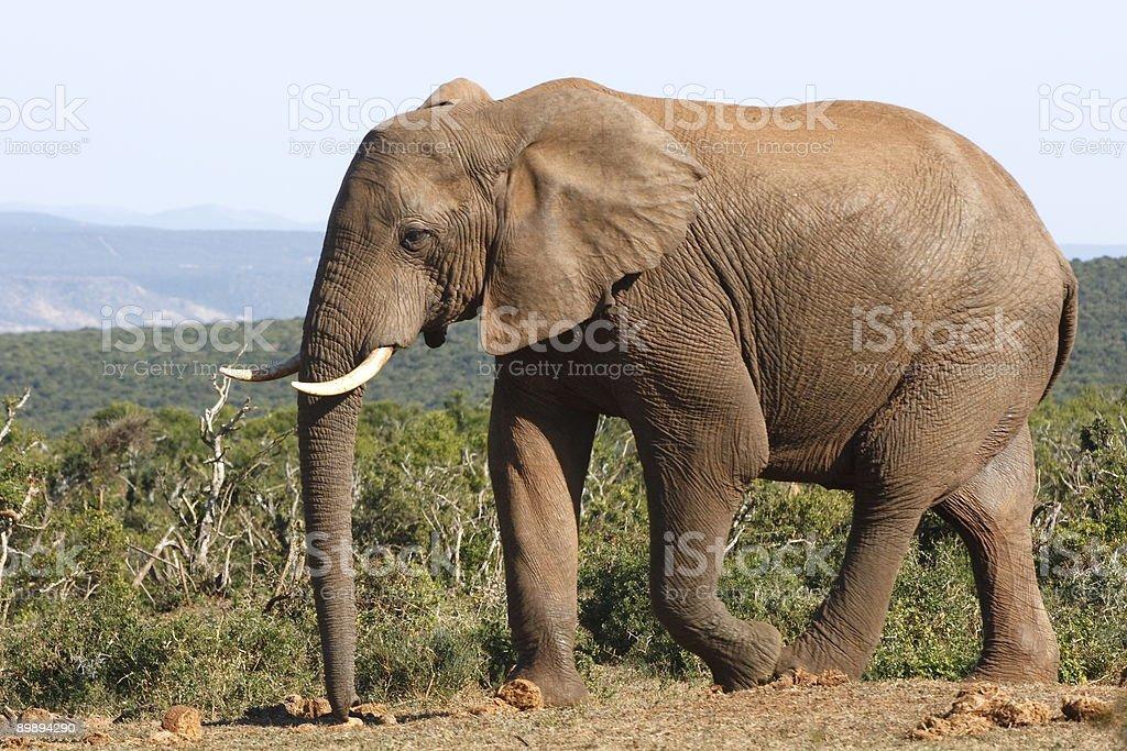 Male elephant walking closer royalty-free stock photo