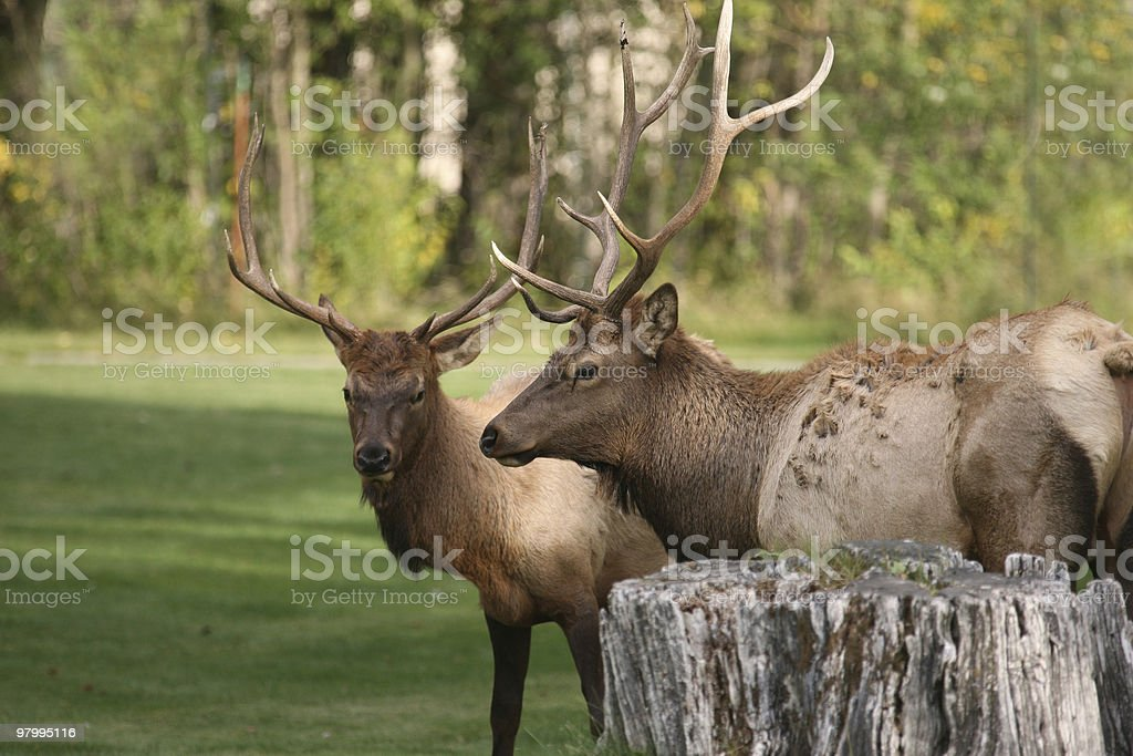 Male Elk pause during fighting royalty-free stock photo