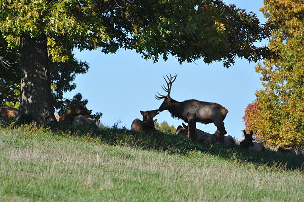 Male Elk with his Harem stock photo