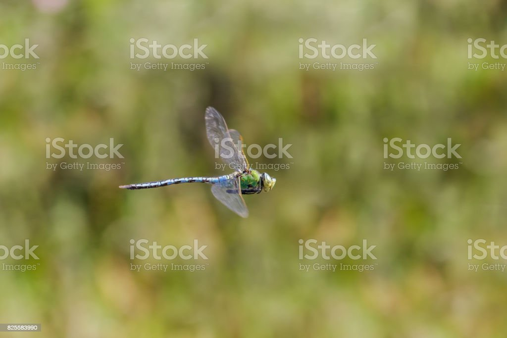 Male Emperor Dragonfly (Anax imperator) flying, in flight, hawking and patrolling its territory. stock photo