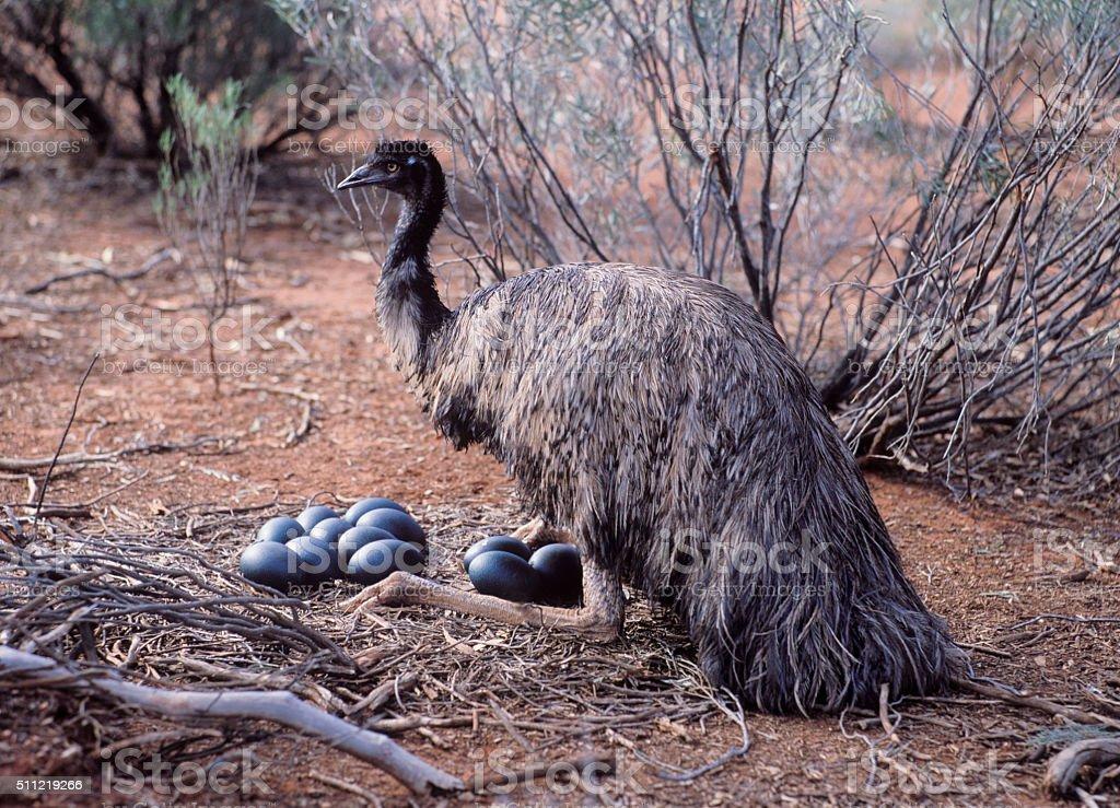Male Emu stock photo