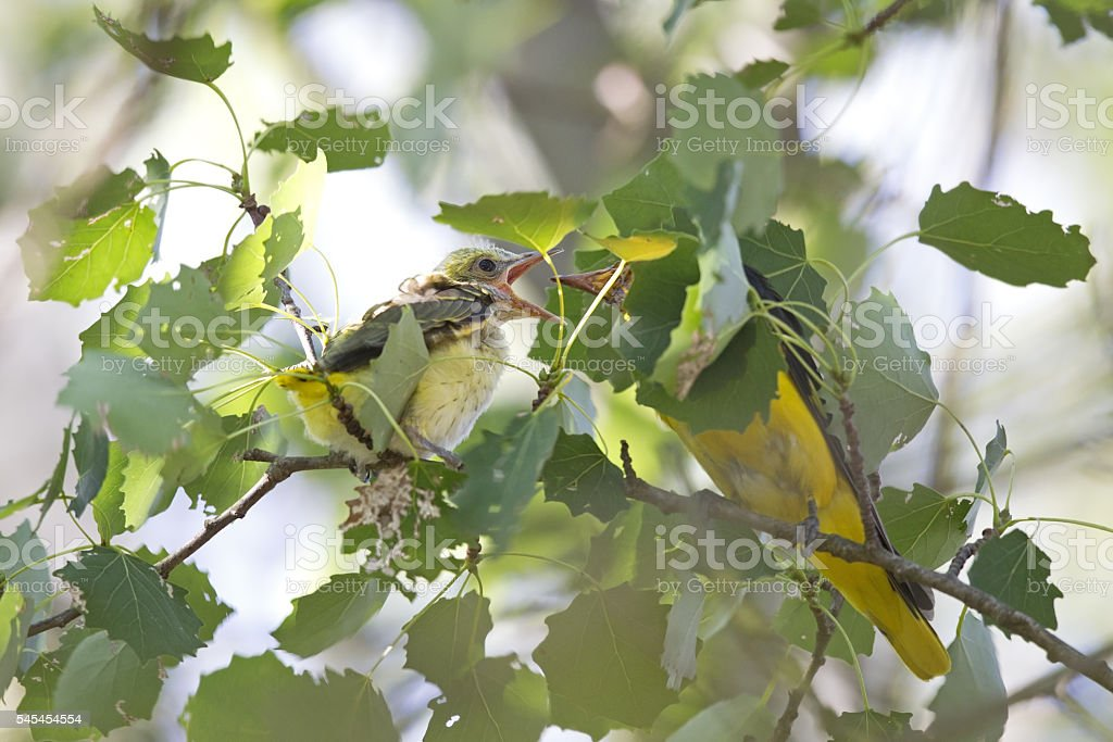Male Eurasian golden oriole feeding its young. stock photo