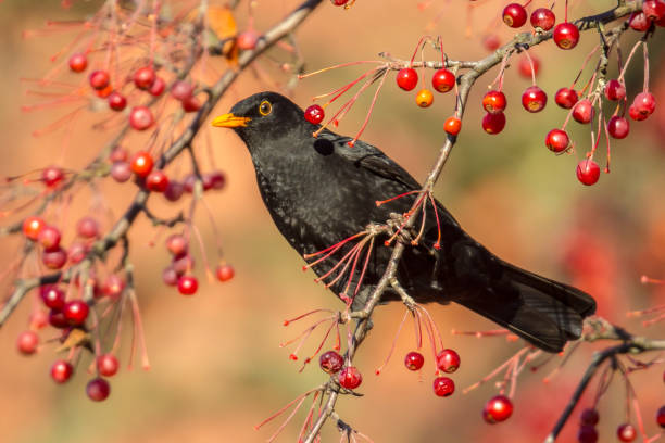 Male European Blackbird  feeding and looking Male European Blackbird (Turdus merula) looking at camera and feeding on berries in tree eurasia stock pictures, royalty-free photos & images