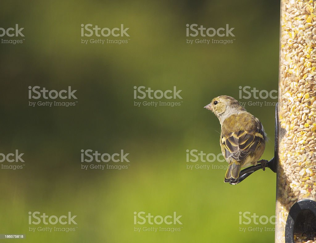 Male European Greenfinch royalty-free stock photo