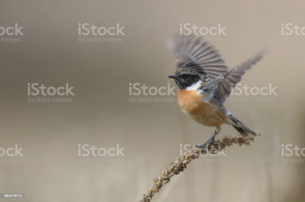 Male european stonechat (Saxicola rubicola) starts to fly stock photo