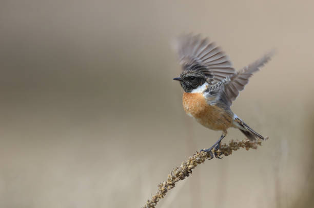 male european stonechat (saxicola rubicola) starts to fly - one animal stock photos and pictures
