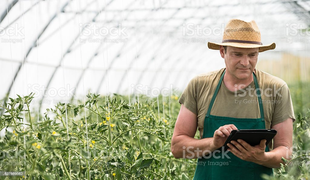 Male Farm Worker In Greenhouse Checking Tomato Plants stock photo