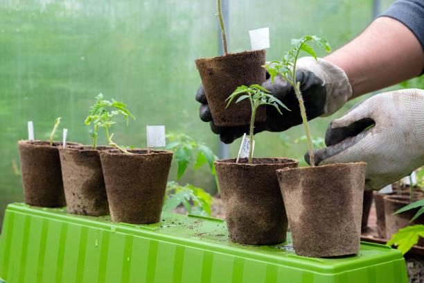 Männlicher Landwirt, der Einen Biotopf mit Tomatenpflanze hält, bevor er in den Boden pflanzt. Mann bereitet sich darauf vor, kleine Tomatenpflanze in den Boden zu pflanzen – Foto