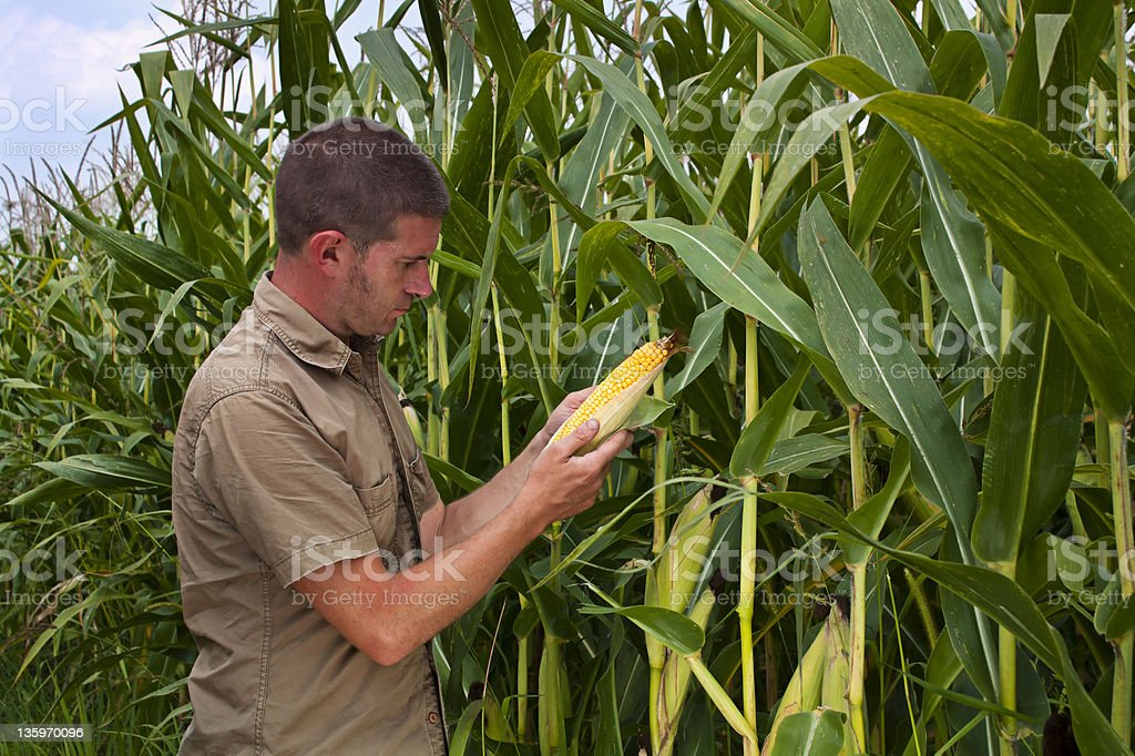 Male farmer inspecting Maize stock photo