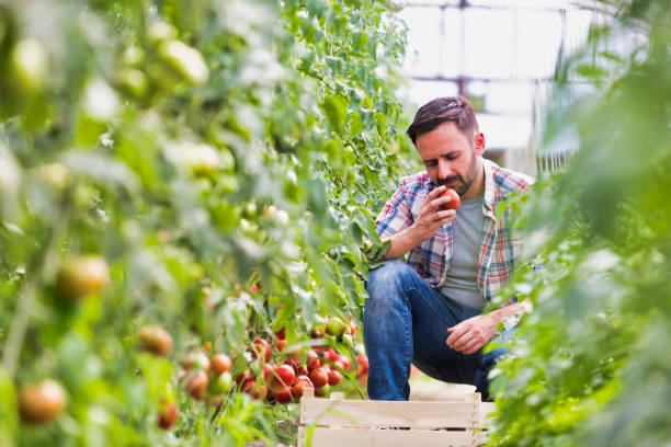 Male farmer picking and examining tomatoes growing in greenhouse stock photo