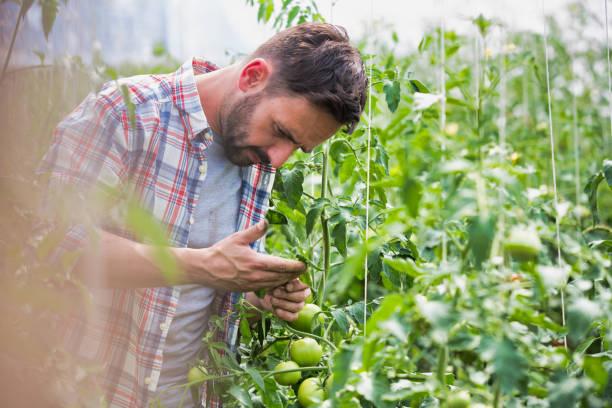 Agricultor masculino recogiendo y examinando tomates que crecen en invernadero - foto de stock