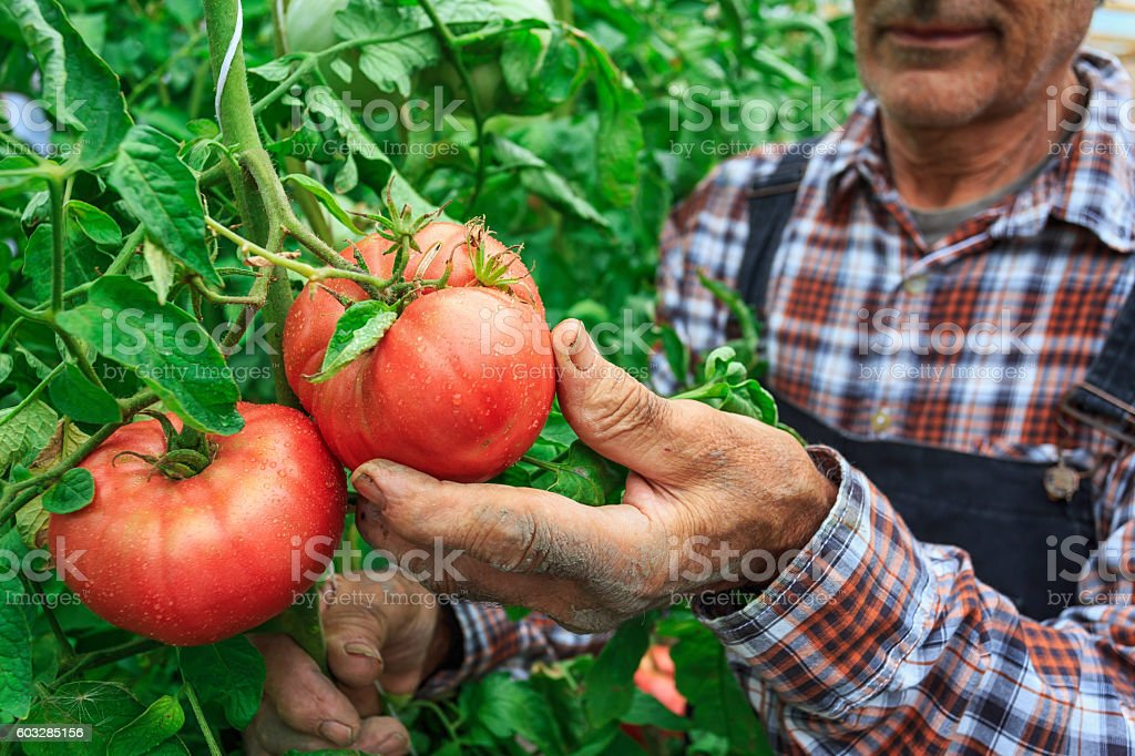 Male farmer picking tomatoes from his garden stock photo