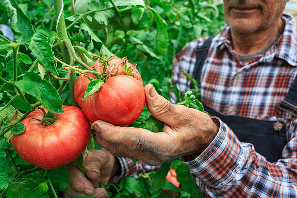 male farmer picking tomatoes from his garden - tomato field stock photos and pictures