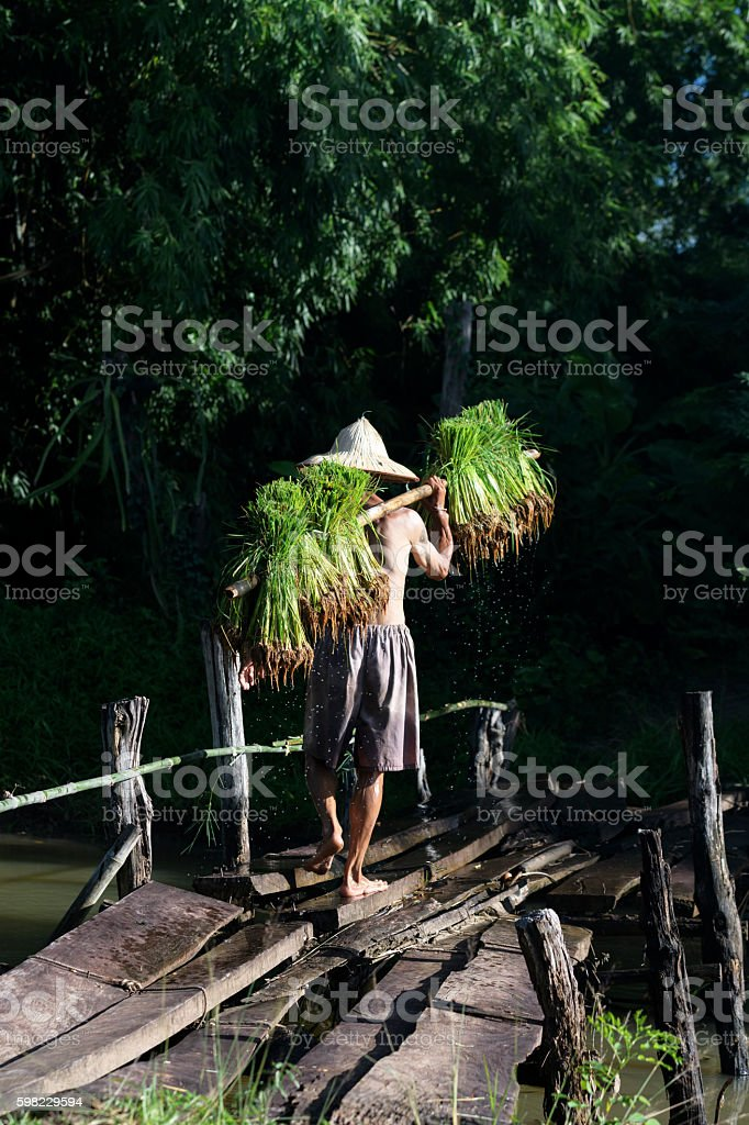 Male farmers grow rice in the rainy season. foto royalty-free