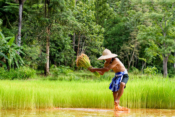 male farmers grow rice in the rainy season. - laos lebensmittel stock-fotos und bilder