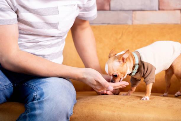 Male feeding small dog on sofa stock photo