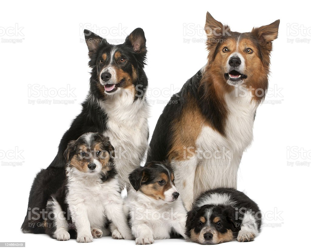Male, Female and puppies Border Collie, white background. royalty-free stock photo