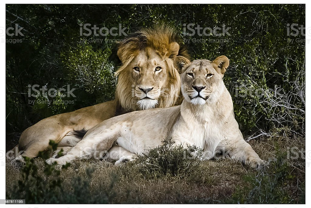 Male & Female Lions stock photo