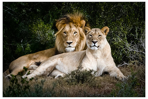 Male & Female Lions African Lions sitting side by side female animal stock pictures, royalty-free photos & images