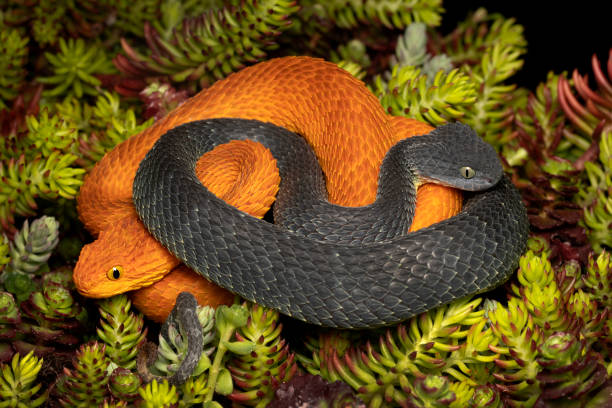 Männlich (Schwarz) & weiblich (Orange) Giftige Bush Viper Schlangen (Atheris squamigera) – Foto