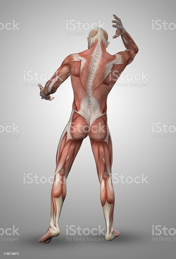 3D male figure with muscle map stock photo