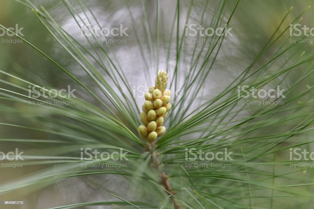 Male flowers of a white pine - Royalty-free Allergy Stock Photo