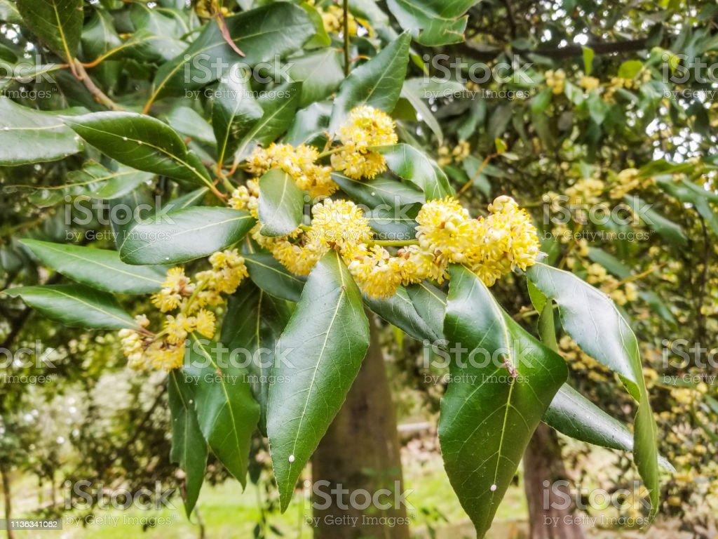 Flores masculinas de Bahía o Laurel verdadero - foto de stock