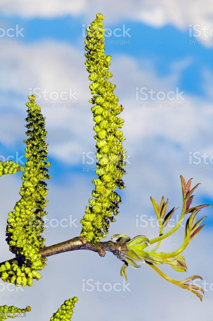 Männliche Blüten des gemeinsamen Nussbaum – Foto