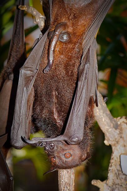 Penis pe Bat - Sex Shop