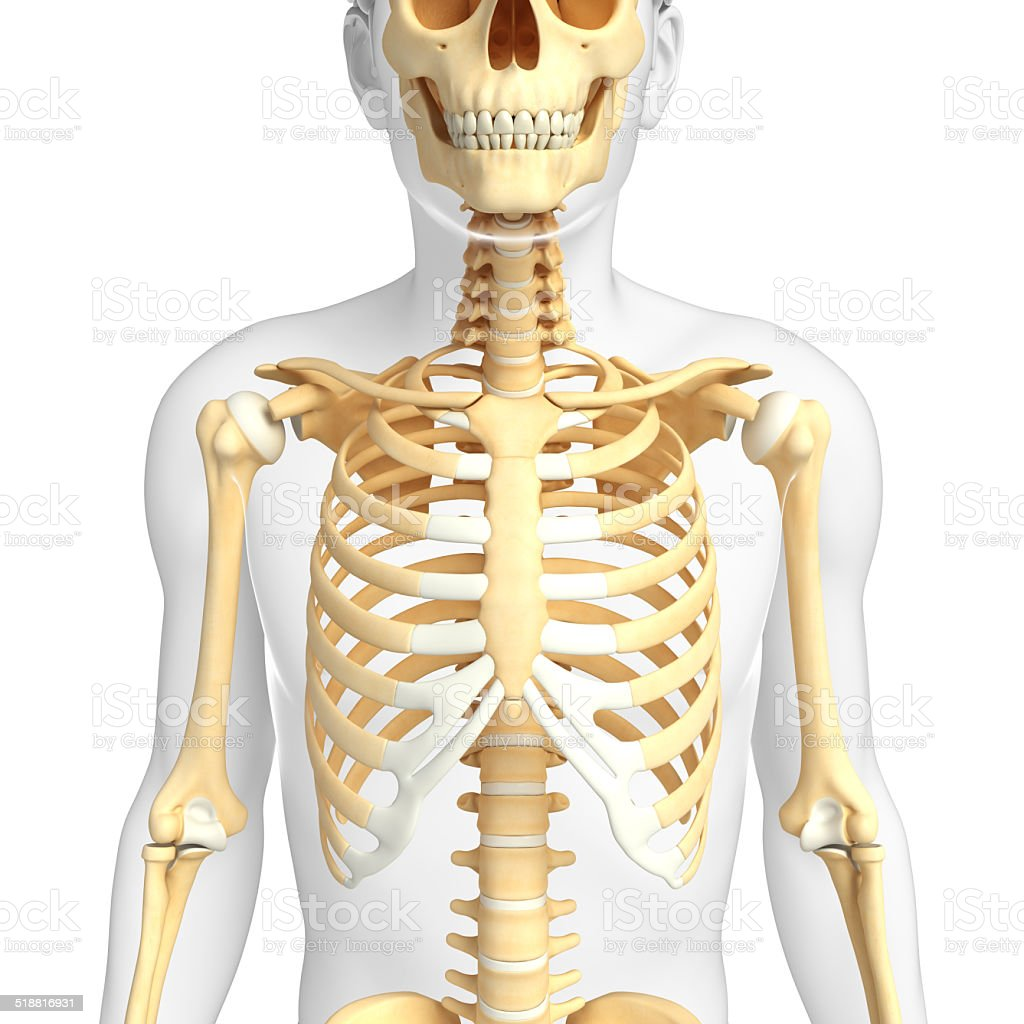 Male Front View Skeleton Stock Photo More Pictures Of Anatomy Istock