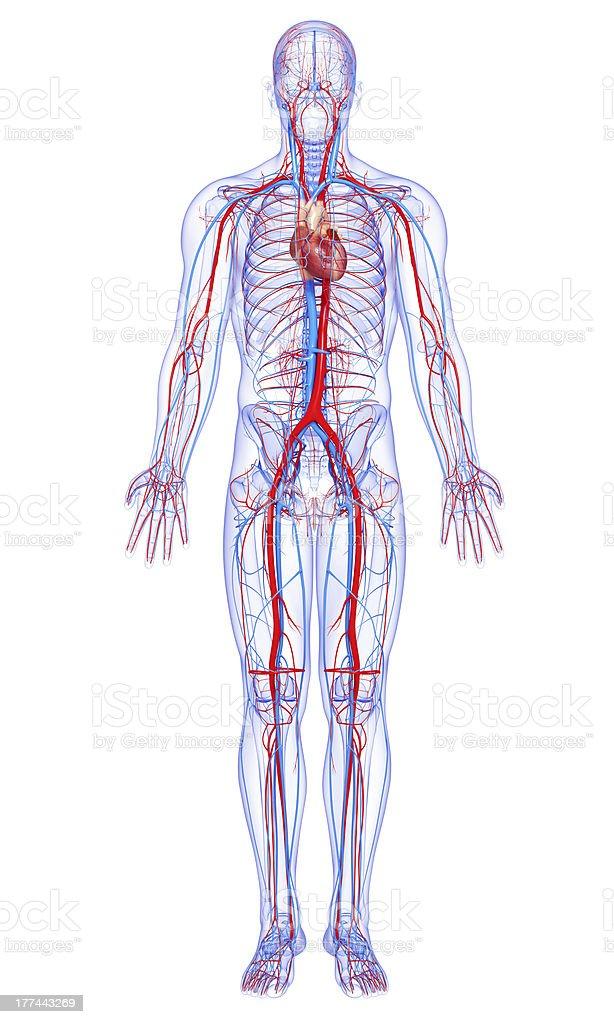 Männliche Körper Highlights Herzkreislaufsystem Stock-Fotografie und ...