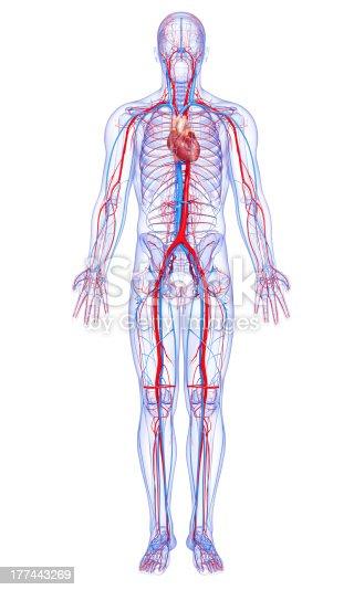 istock male full body circulatory system highlights heart 177443269