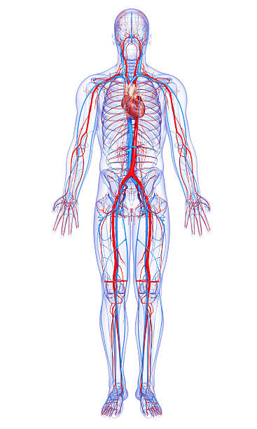 male full body circulatory system highlights heart stock photo