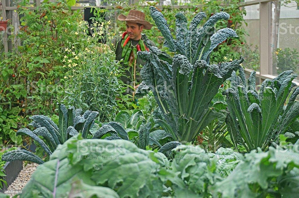 Male Gardener Taking Care of Plants in Vegetable Garden stock photo
