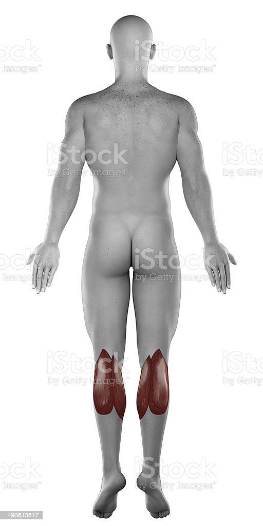 Männliche Zweiköpfiger Wadenmuskel Muskeln Anatomie Isoliert Hintere ...