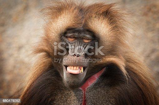 Male gelada sometimes called the bleeding-heart monkey or the gelada baboon.