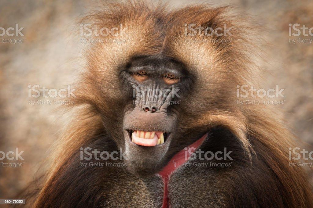 Male Gelada Portrait stock photo