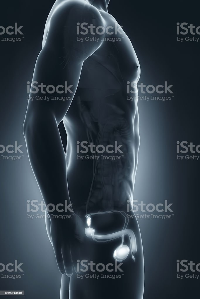 Male genitals anatomy lateral view royalty-free stock photo