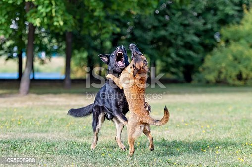 Adult male black German shepherd playing with a malinois puppy in the park. The older dog teaches a puppy to fight.