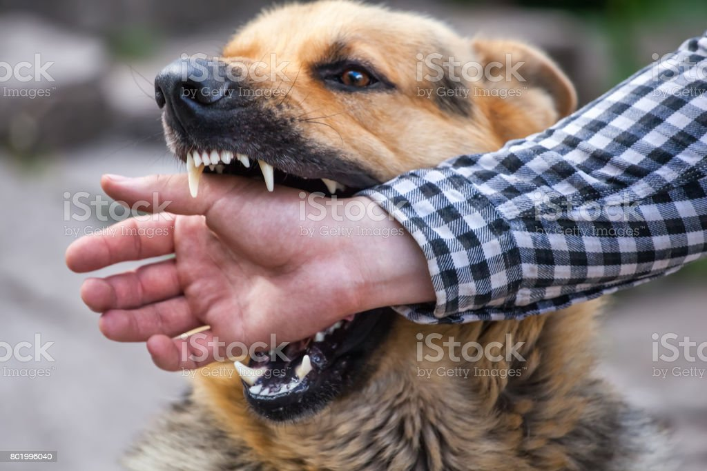 male German shepherd bites a man by the hand stock photo