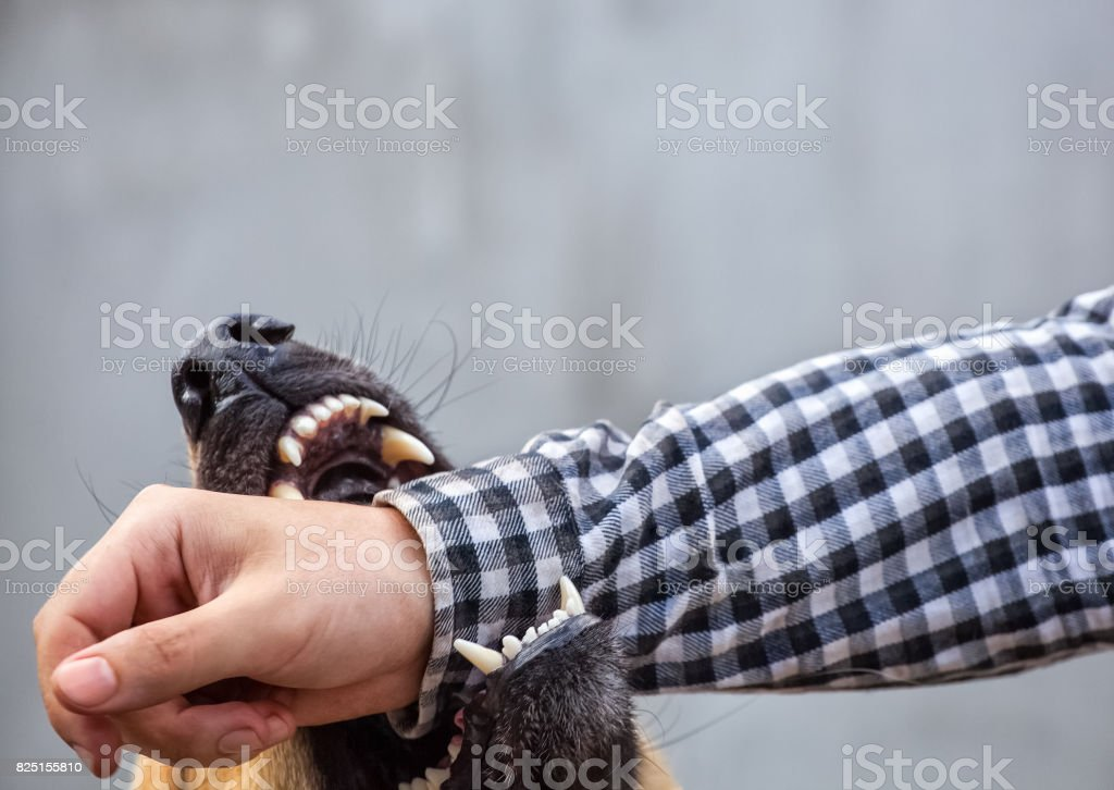 male German shepherd bites a man stock photo