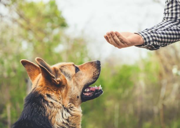Male german shepherd bites a man picture id870531000?b=1&k=6&m=870531000&s=612x612&w=0&h=izrvsfqez2prbc5 ceg8vlnefjr0adefg2ll qbfrqq=
