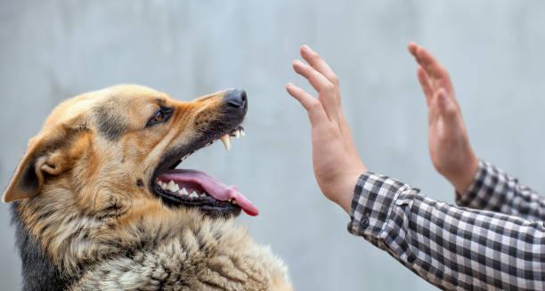 A male German shepherd bites a man stock photo
