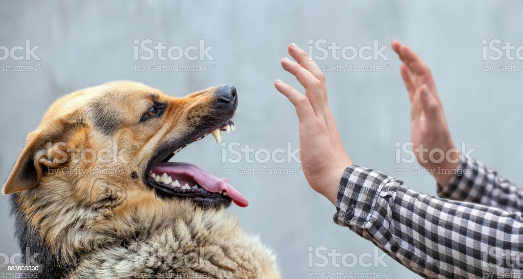 A male German shepherd bites a man stock photo