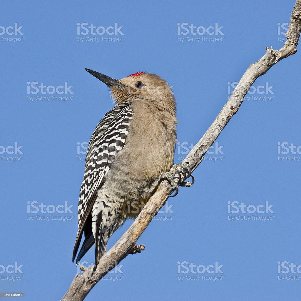 Male Gila Woodpecker royalty-free stock photo