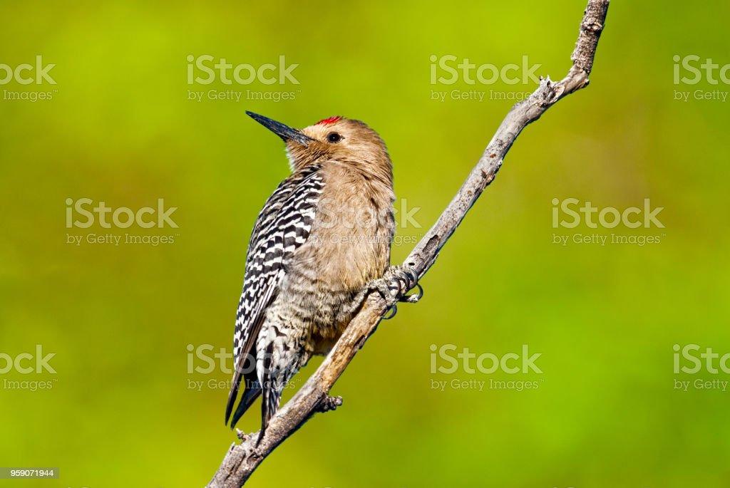Male Gila Woodpecker stock photo