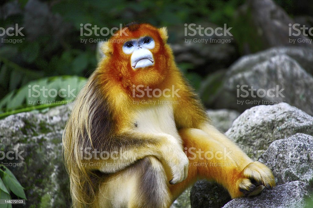 male  Golden Monkey stock photo