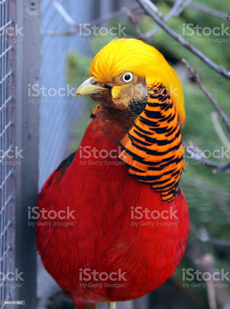 Male Golden or Chinese pheasant (Chrysolophus pictus) stock photo