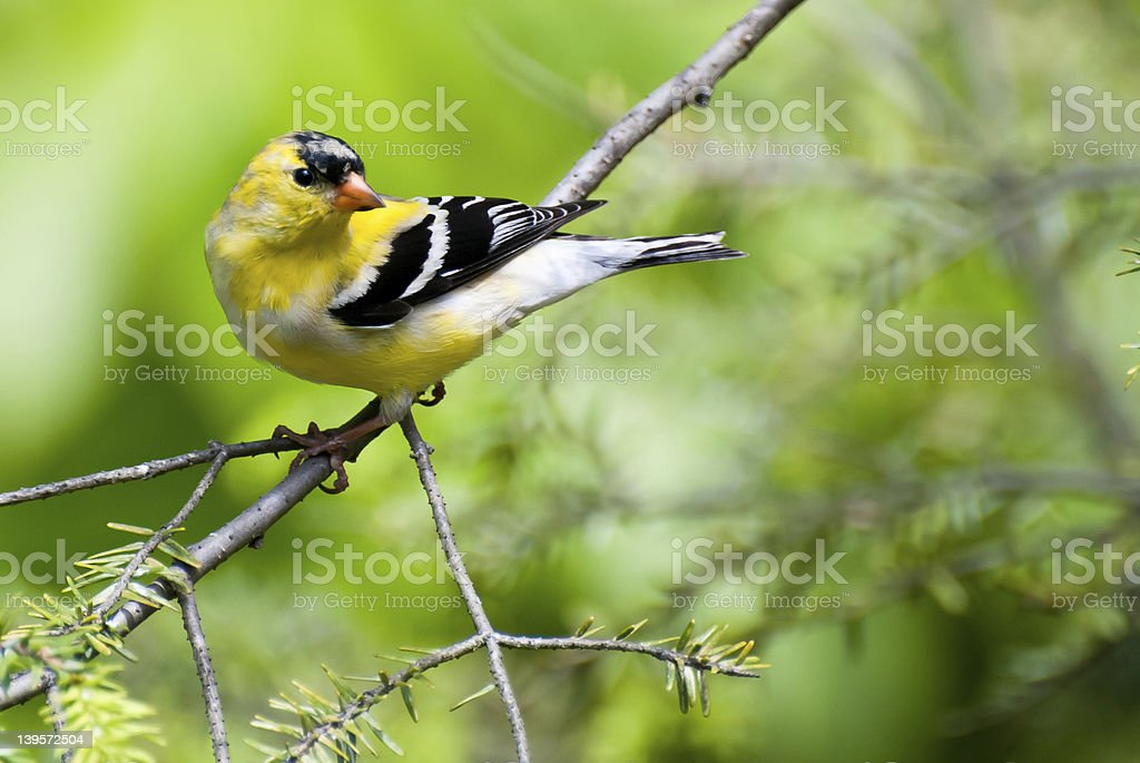 Male Goldfinch Changing to Breeding Colors in Spring stock photo