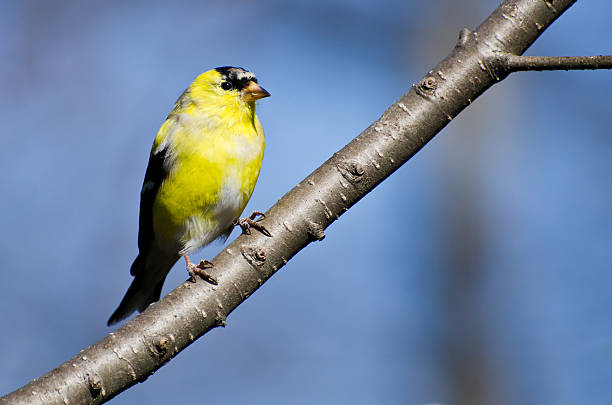 Male Goldfinch Changing to Breeding Plumage Male Goldfinch Changing to Breeding Plumage american goldfinch stock pictures, royalty-free photos & images